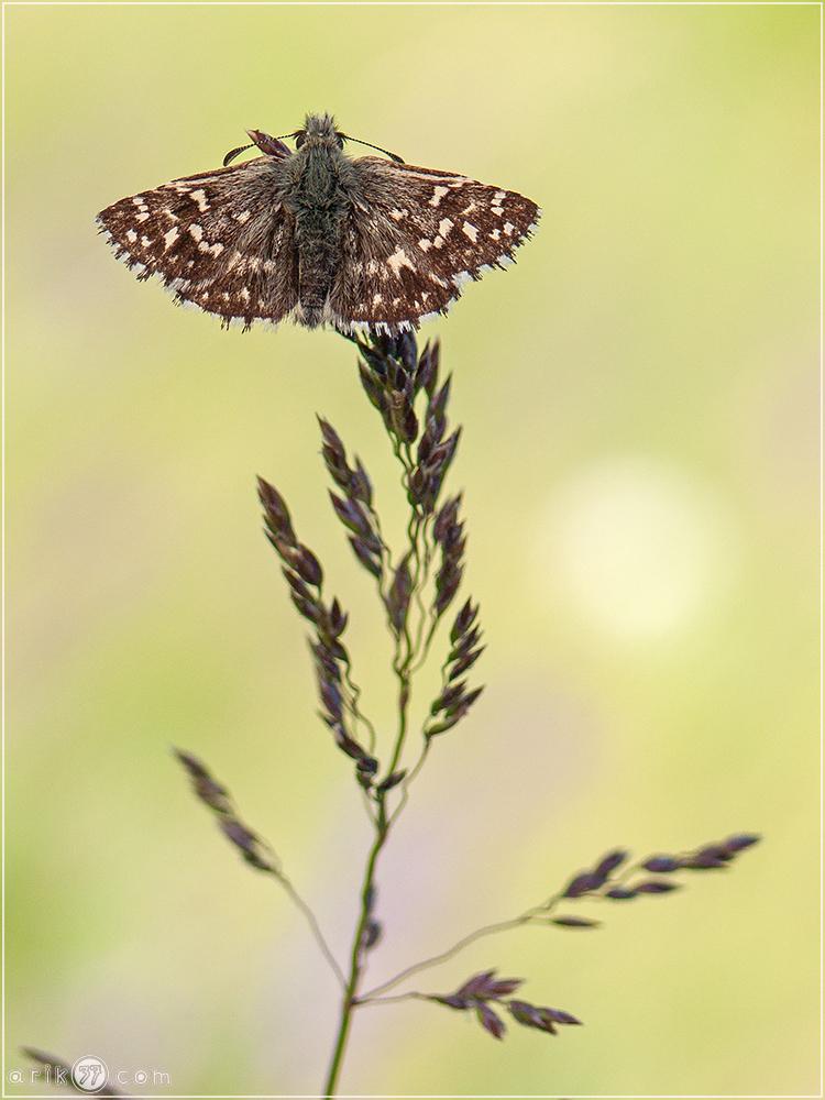 Natur Fotografie Dickkopffalter Hesperiidae